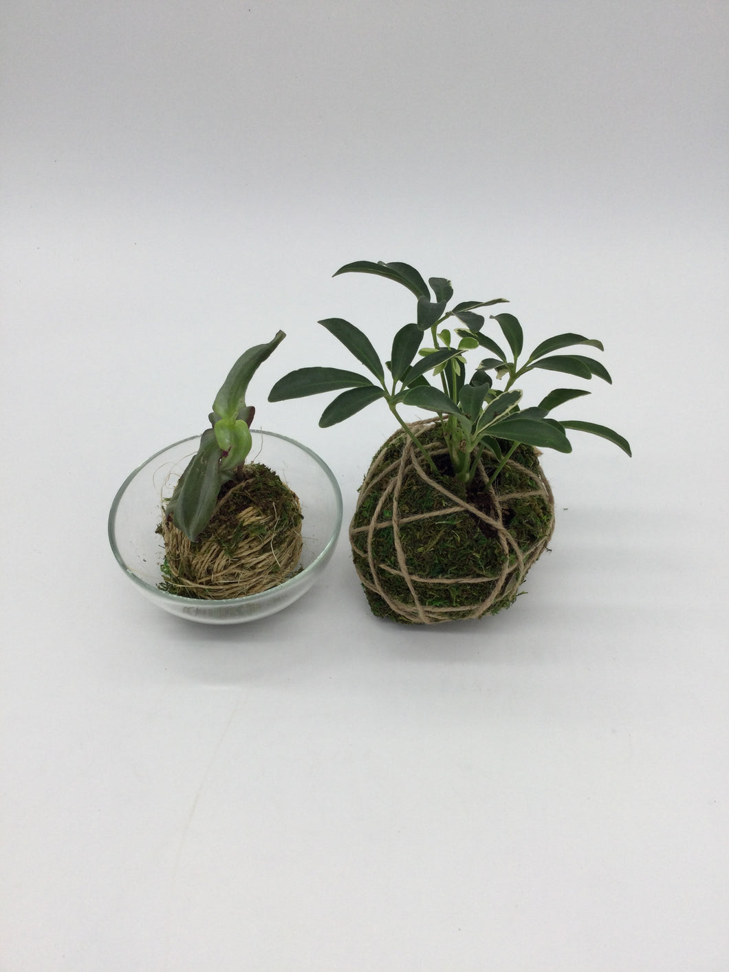 Small inch plant kokedama in a glass bowl next to a big schefflera kokedama