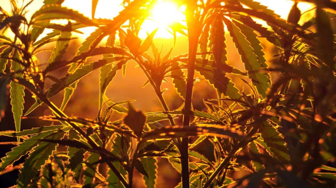 Silhouette of Hemp Plants Over a Sunset