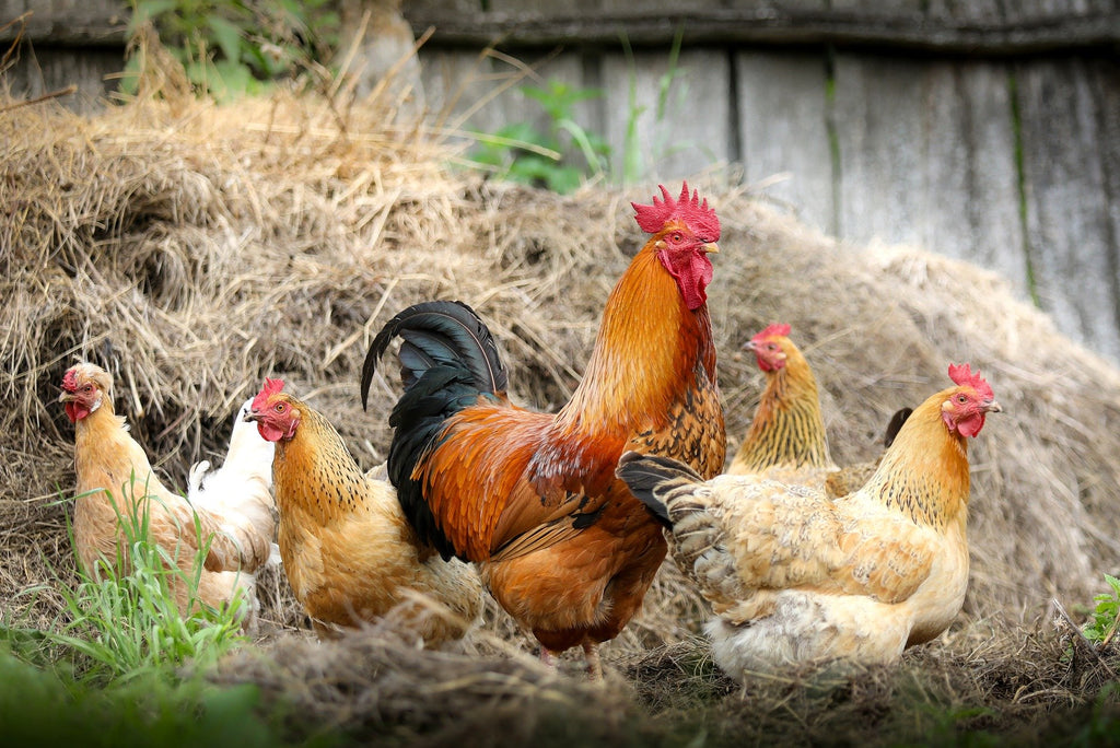 Keeping Chickens Cool: Help Your Chickens Beat the Heat