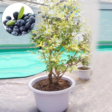 Load image into Gallery viewer, Hot 30 Seeds/pack American Giant Blueberry Seeds Bonsai Edible Fruit Seed for Home Garden