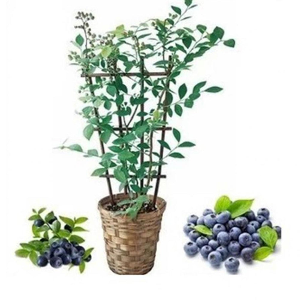 Hot 30 Seeds/pack American Giant Blueberry Seeds Bonsai Edible Fruit Seed for Home Garden