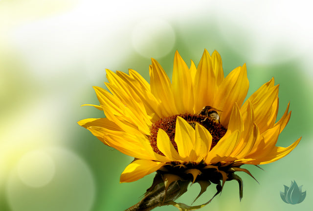 Topical Powers of the Sunflower Seed Oil: Skin Healing Beauty Benefits