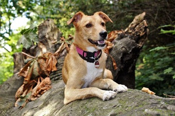 A dog in a red collar lies on a tree trunk