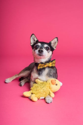 Black and white dog with a bow on the neck and a yellow toy on a pink background
