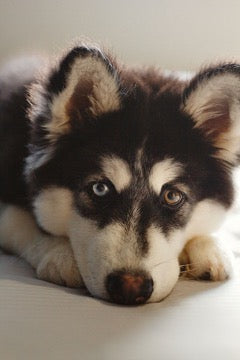 Husky face with different colored eyes