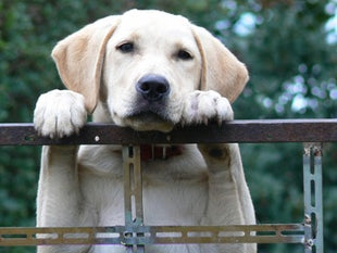 Labrador Retriever peeks out from behind a fence, putting its front paws on it