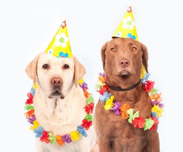 Yellow and brown labradors in party hats and garlands