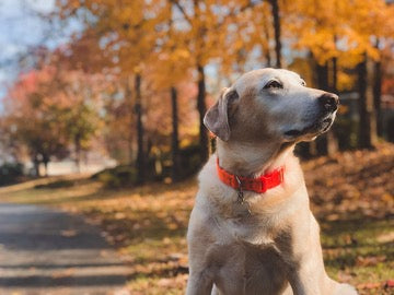 A dog in a red collar sits on a background of autumn trees