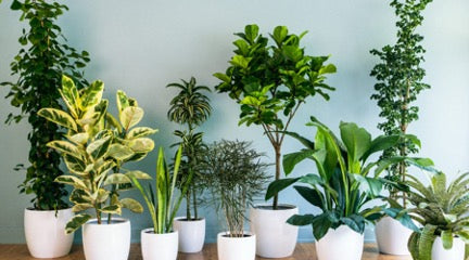 Plants in white pots against a blue wall