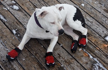 White dog in red shoes lies on the floor