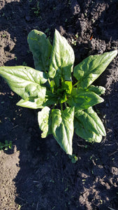 Young Winter Spinach-Greens-Three Sisters Garden