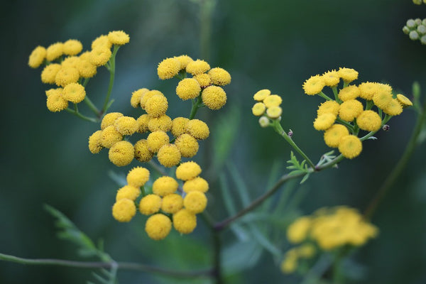 Helichrysum: What It Is and Why It's Good for Your Skin