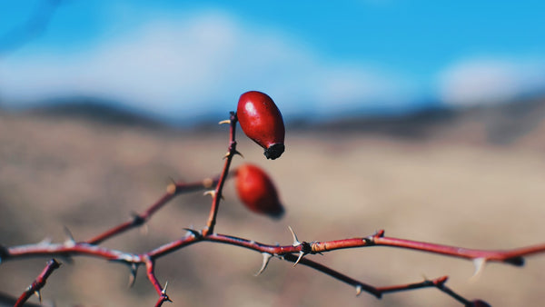 Rosehip Seed Oil: Benefits You Didn't Know