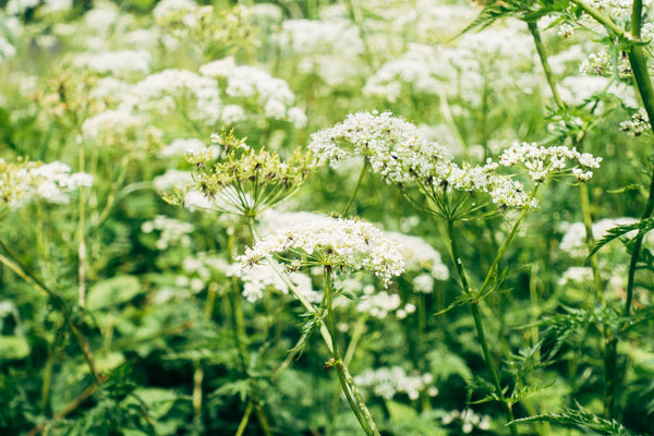 Yarrow: What It Is and What It's Good For