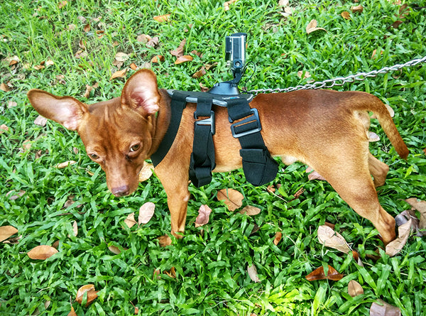 GoPro Fetch Harness for Dogs - Worn by Buchi