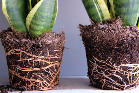 snake-plant-roots