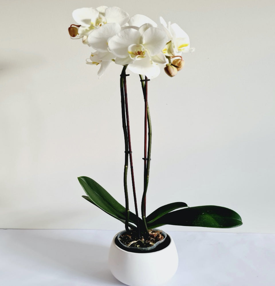 Orchid Plant  (Large White) 2 Stems with pot