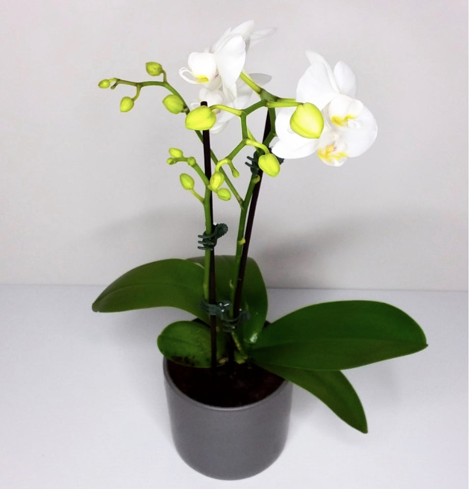 Orchid White ( One stems)& Pot