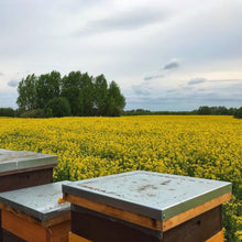 Load image into Gallery viewer, Field of Oilseed Rape Honey Blossoms