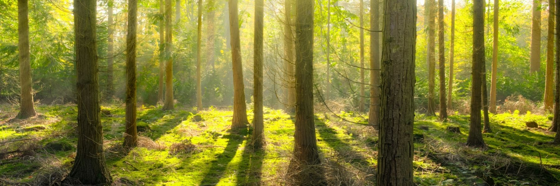 Forest with sunlight shining through trees for the Forest Bathing blog by Wild Planet Aromatherapy