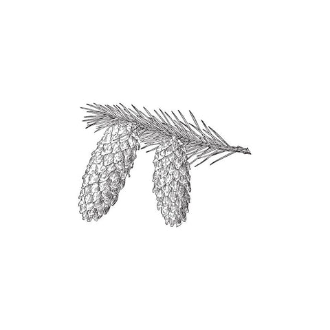 black and white drawing of black spruce branch by Wild Planet Aromatherapy