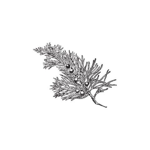 black and white drawing of juniper needle branch by Wild Planet Aromatherapy