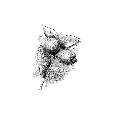 black and white drawing of two limes an leaves by Wild Planet Aromatherapy