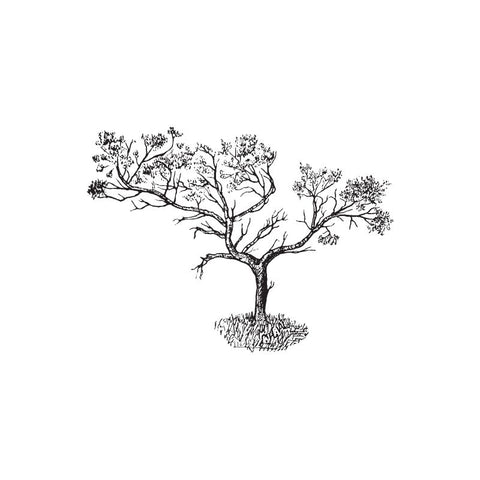 black and white drawing of a frankincense tree by Wild Planet Aromatherapy