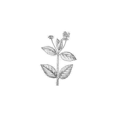 black and white drawing of verbena plant by Wild Planet Aromatherapy