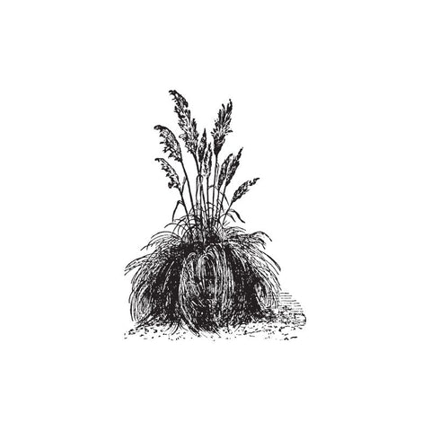 black and white drawing of palmarosa plant by Wild Planet Aromatherapy
