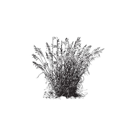 black and white drawing of vetiver grass by Wild Planet Aromatherapy
