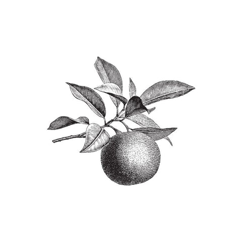 back and white drawing of petitgrain from the bitter orange tree by Wild Planet Aromatherapy