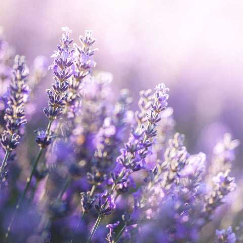 lavender flowers in a field by Wild Planet Aromatherapy