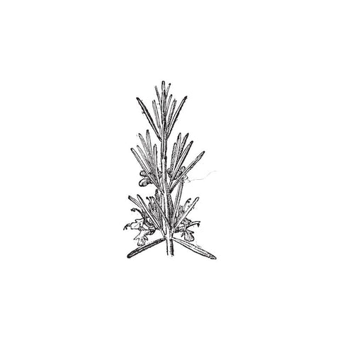 black and white drawing of rosemary by Wild Planet Aromatherapy