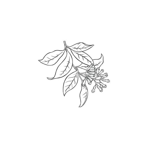 Clove bud black and white drawing by Wild Planet Aromatherapy