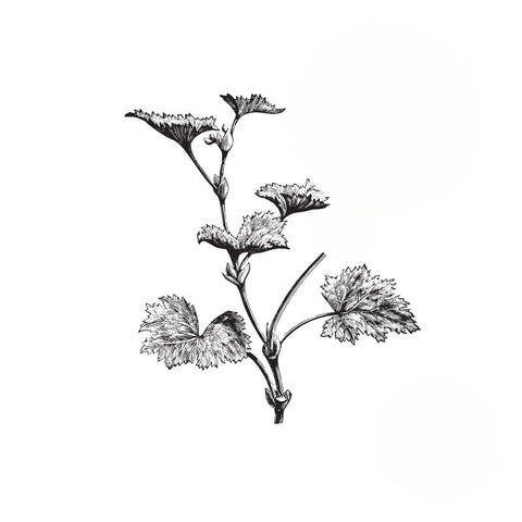 black and white drawing of a geranium leaf stem