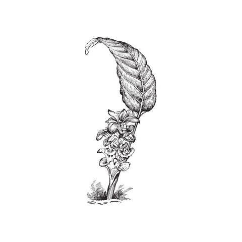 black and white drawing of a ginger plant by Wild Planet Aromatherapy