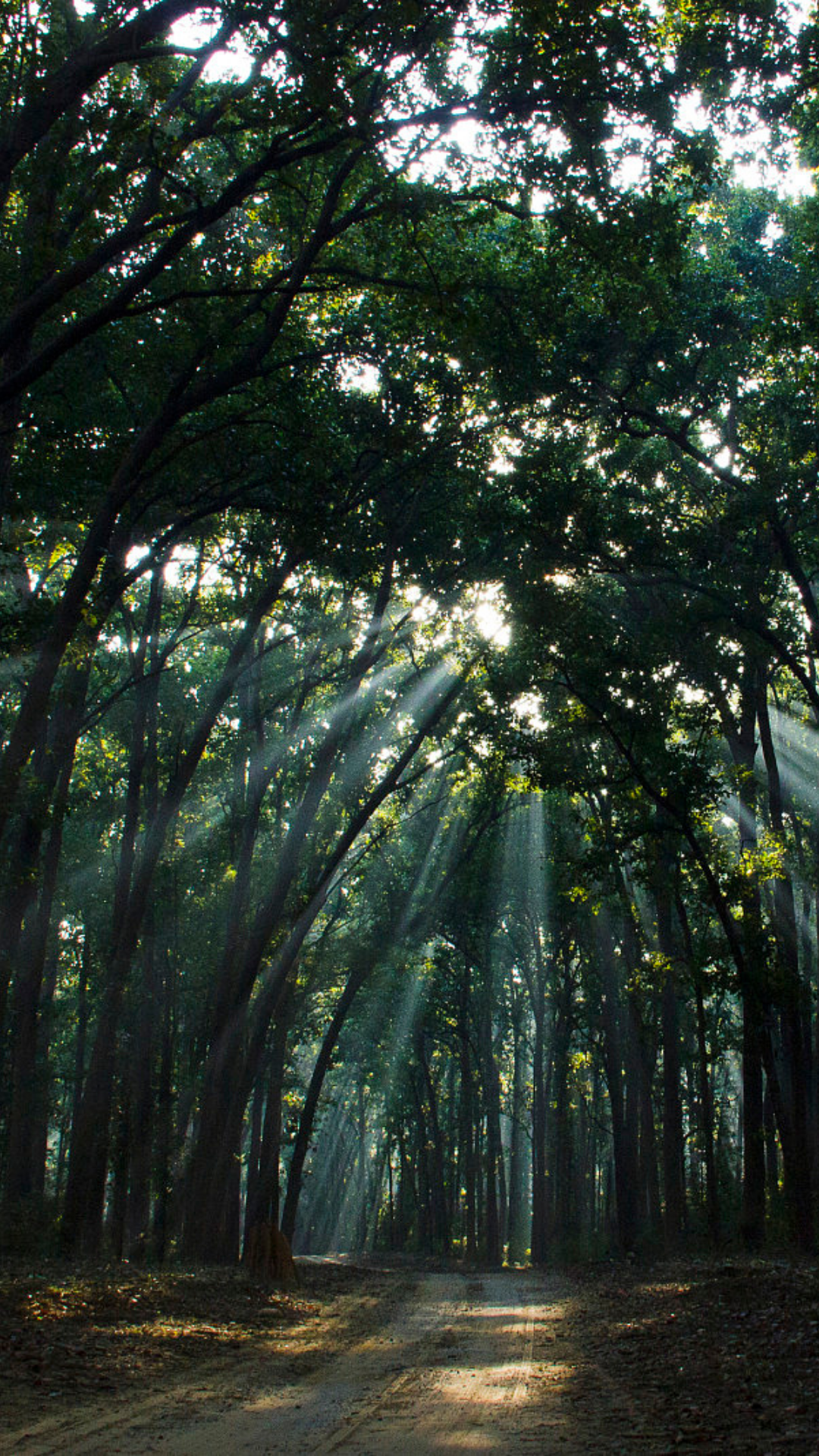 Trees in dappled sunlight from the Forest Bathing blog by Wild Planet Aromatherapy
