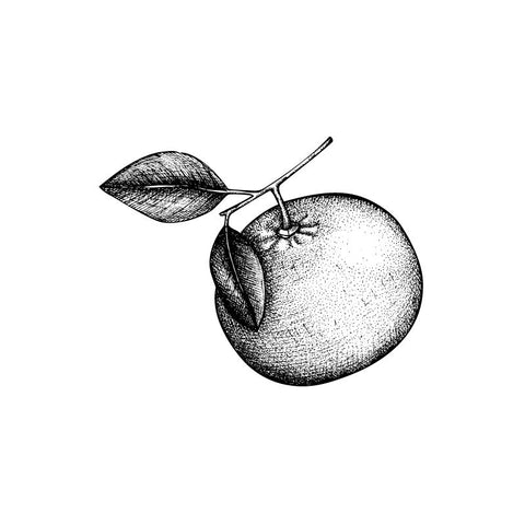 Black and white drawing of a bergamot