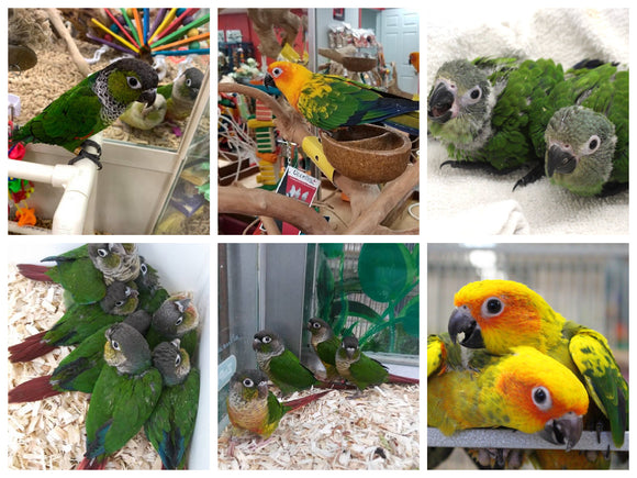Conures for Sale