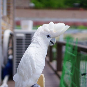Ducorp Cockatoos for Sale