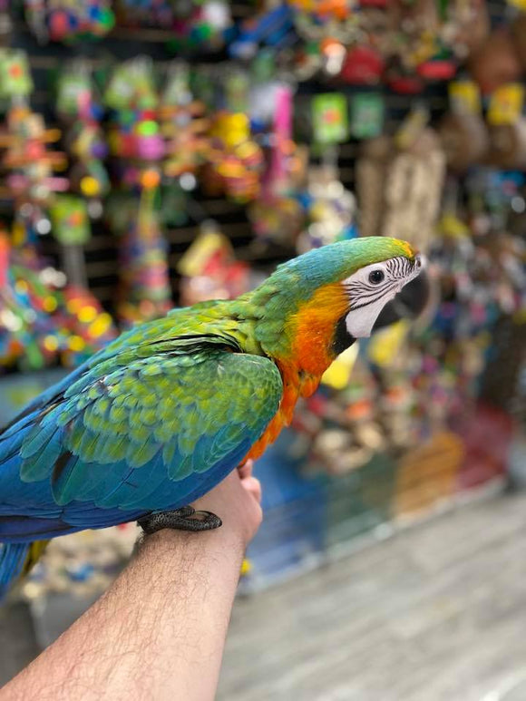Catalina Macaw For Sale