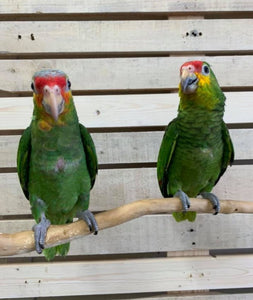 Red Lored Amazons for Sale