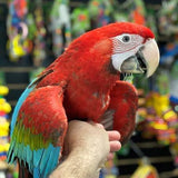 Green Wing Macaws for Sale