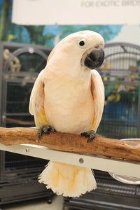 Moluccan Cockatoos for Sale