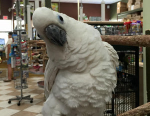 Triton Cockatoos for Sale