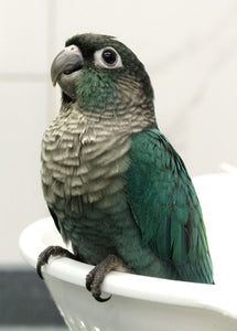Turquoise Green Cheek Conures for Sale