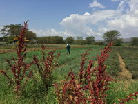 We visited our solar customer Mara Farming, in Naivasha!