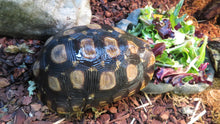 Load image into Gallery viewer, Speke's Hingeback Tortoise