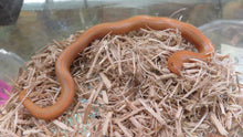 Load image into Gallery viewer, Albino Rufescens x Kenyan Sand Boa